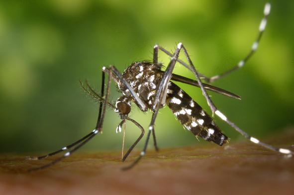 zanzare tigre foto